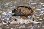 Griffon Vulture eating a sheep's carcass, Spain�