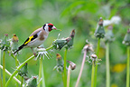 European Goldfinch eating seeds Dandelion France (Goldfinch)