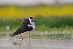 Black-winged Stilt hug after mating France (Black-winged Stilt)