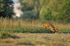 Red Fox leaping on its prey in a meadow France (Red fox)
