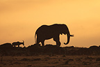 African Elephant and Topi at sunrise, Masai Mara, Kenya (African elephant)