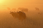 A herd of buffalo at sunrise in the Mara NR Kenya (Cape buffalo)