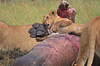 Lions on the corpse of a Hippopotamus Masai Mara NR Kenya (African lion)