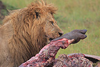Lion eating an Hippopotamus in the Masai Mara NR Kenya (African lion)