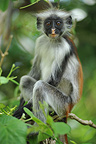 Zanzibar red colobus on a branch Forest Jozani Tanzania� (Zanzibar red colobus)