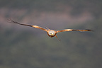 Red Kite flying at spring (Red Kite)