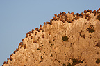 Groupe of Griffon Vultures on a cliff (Griffon Vulture)
