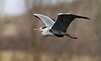 Grey Heron flying in winter (Grey Heron)