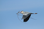 Grey Heron flying with a branch to build its nest (Grey Heron)