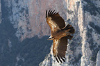 Griffon Vulture in flight,Spain