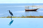 Blue Heron beside a hotel swimming pool Unguja island Zanzibar (Blue heron)