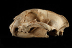 Caracal Skull profil on a black background (Caracal)
