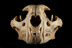 Caracal Skull face on a black background (Caracal)