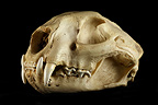 Skull Puma 3 / 4 on a black background� (Mountain lion )