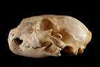 Skull Lion cub profil on a black background� (African lion)