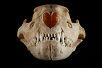 Skull Lion cub face on a black background� (African lion)
