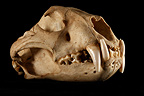 Jaguar Skull 3 / 4 on a black background� (Jaguar)