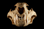 Jaguar Skull face on a black background  (Jaguar)