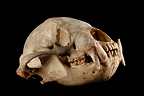 Sun Bear Skull 3 / 4 on a black background (Sun bear  (Helarctos malayanus)