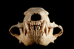 Sun Bear Skull face on a black background (Sun bear  (Helarctos malayanus)