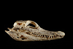 Crocodile Skull profile on a black background  (crocodile)