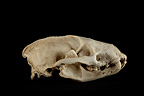 Eurasian Badger Skull profil on a black background  (Eurasian badgers )