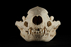 Eurasian Badger Skull face on a black background� (Eurasian badgers )