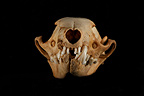 Beech Marten Skull face on a black background