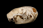 Ermine Skull 3 / 4 on a black background (Ermine)