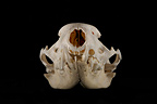 Ermine Skull face on a black background (Ermine)