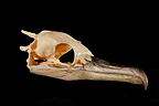 Cormorant Skull 3 / 4 on a black background  (Cormorant)