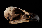 Golden Eagle Skull profil on a black background (Golden Eagle)