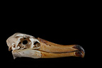 Albatross Skull profil on a black background (Albatross)