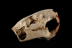 Nutria Skull profil on a black background (Coypu)