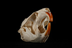 Muskrat Skull 3 / 4 on a black background  (Common Muskrat)
