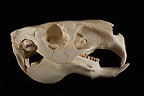 Capybara Skull profil on a black background (Capybara)