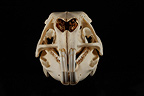 Capybara Skull face on a black background (Capybara)