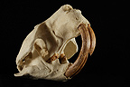 Fossil Skull of Giant Beaver 3 / 4 on a black background