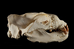 South American Sea Lion Skull profil on a black background (Southern sea lion )