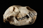 Young Kodiak Bear Skull 3 / 4 on a black background  (Alaskan Brown bear)