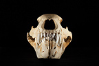 Young Kodiak Bear Skull face on a black background  (Alaskan Brown bear)