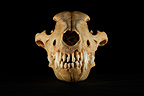 Dire Wolf Skull Fossil face on a black background (Wolf skull)