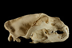 Polar Bear male Skull profil on a black background (Polar bear)