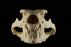 Polar Bear male Skull face on a black background (Polar bear)