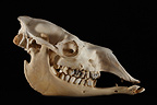 Camel or Dromedary Skull profil on a black background (Camel)