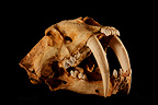 Fossil Skull of Saber-toothed Cat 3 / 4 on black background  (Saber-toothed cat)