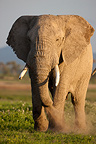 Elephant male watered dust Amboseli NP Kenya� (African elephant)