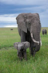Elephant female and her young RN Masai Mara in Kenya (African elephant)