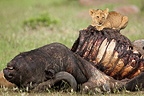 Lion cub eating on a buffalo in the RN Masai Mara Kenya (African lion)