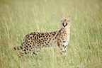 Serval in the savannah of the Masai Mara NR Kenya (Serval)